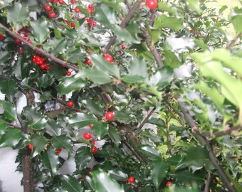 Fresh Cut Holly Branch with Berries Centerpieces, Floral Arrangement Holiday Decor
