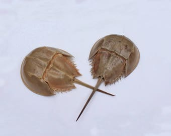 2 Horseshoe Crab Shells