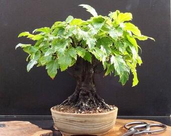 BONSAI - Amur Maple