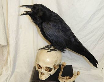 Taxidermy crow on a realistic replica human skull with 2 similar books, will be made to order very similar and fixed to shown.