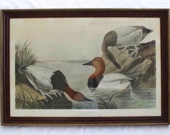 JJ Audubon Canvas Backed Duck Framed Engraving Print