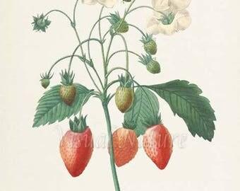 Strawberry Botanical Print, Strawberry Art Print, Fruit Art, Fruit Print, Kitchen Art, Garden, Redoute Art, red, white, Fraisier a Bouquets