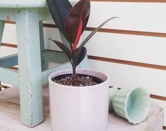 "Ficus Burgundy Plant 4"""