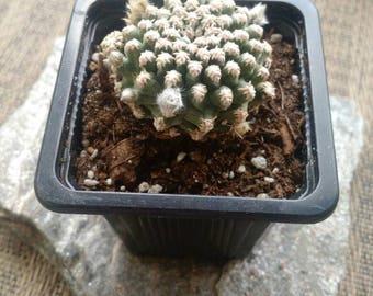 RARE Pygmaeocereus bieblii cacti succulent