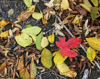 Fallen Red Maple Leaf Amidst Yellow and Green Fallen Leaves Photo - Autumn Nature Photography - Splash of Scarlet - Fallen Leaves Wall Art