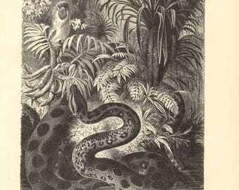 1892 Green Anaconda - Eunectes murinus Original Antique Engraving to Frame