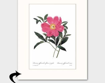 Peony Art Print w/Mat (Pink Home Decor, Living Room Artwork) Matted Redoute Botanical Flower Art