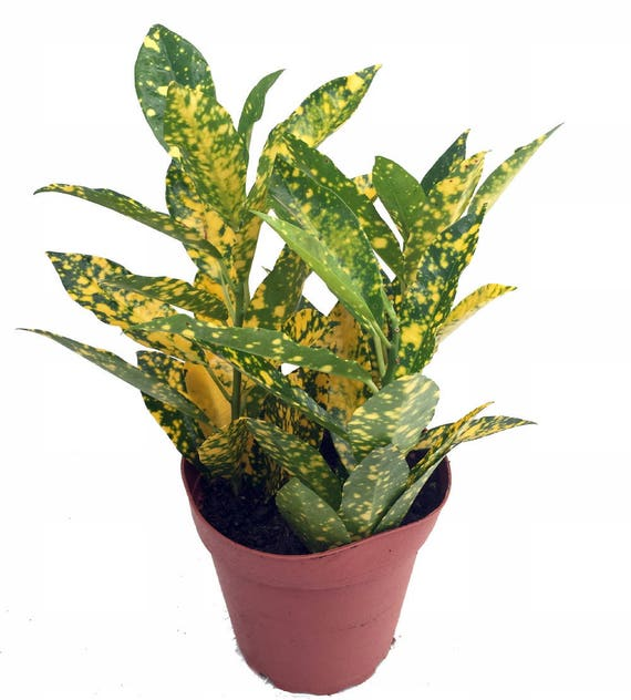Gold dust croton 3 pot colorful house plant - Colorful indoor plants ...