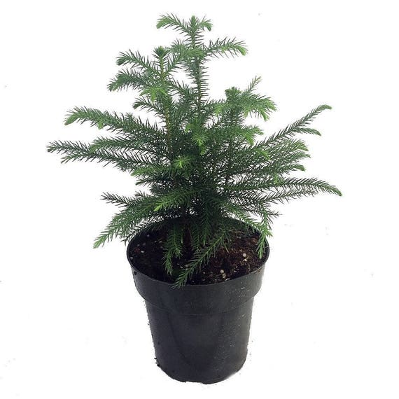Christmas Trees Norfolk: Norfolk Island Pine The Indoor Christmas Tree 6 Pot