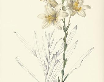 white lily Lilium Candidum vintage botanical print Pierre-Joseph Redouté garden flower gift for gardener illustration 8.5 x 12 inches