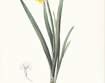 yellow Narcissus flower botanical print vintage illustration Pierre-Joseph Redouté gardening gift plant lover cottage decor  8.5 x 12 in
