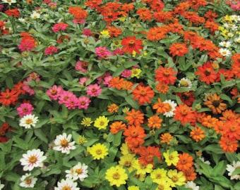 Zinnia Profusion Seeds, Mixed Zinnia Profusion Seeds, Dwarf Zinnia Seeds