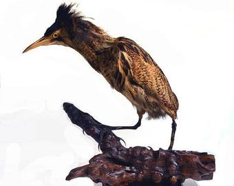 25% SALE Vintage Adult Bittern Taxidermy Stuffed Trophy Wading Bird Heron French Country House Curiosity