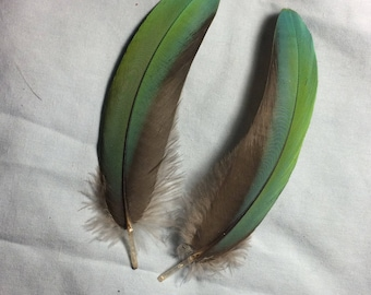 Matching pair of bluish green military macaw feathers