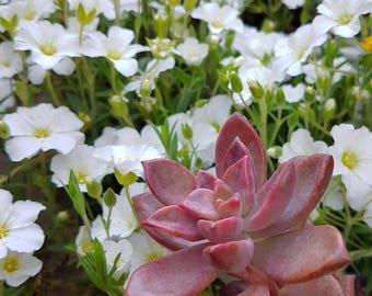 Graptosedum California Sunset/Succulent plant/succulents/indoor plant/succulent arrangement/live plants/cactus/succulent wedding