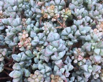 Pink Ice Plant/Sandstone Vygie/Succulent plant/succulents/indoor plant/succulent arrangement/live plants/cactus/succulent wedding