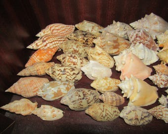 Collection of Strombus Shells Lambis Shells + others from an Old Collection