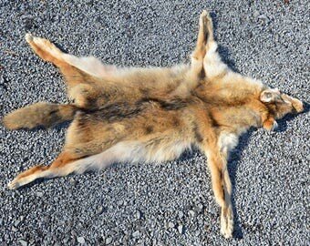 Complete Tanned Typical Coyote Pelt with Feet