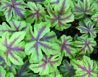Foamflower (Tiarella 'Jeepers Creepers') - live plants - perennial plants - foamy bells - spring flowers - plants for shade - woodland plant