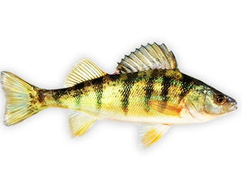 Yellow Perch, Yellow Perch Fishing, Yellow Perch Decal, Yellow Perch Sticker - **Preorder Ships August 11th**
