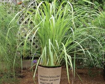 Lemongrass Live Plant Fit 1 Gallon pot Non-GMO Organic Healthy Strong Root Mosquitoes Repellent Cymbopogon Citratus