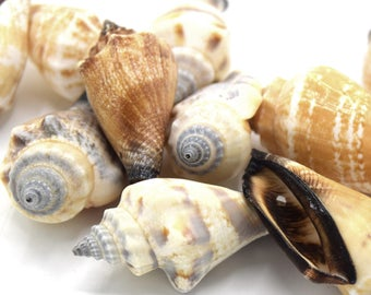 Cones drilled seashells 35 ~ 40 mm in packs of 20 5/10 shells - Cones natural shells pierced 35 ~ 40 mm In batches of 5/10/20