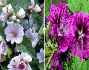 Althaea Officinalis-Marshmallow Medicinal (20 SEEDS) OR Malva sylvestris (30 SEEDS)