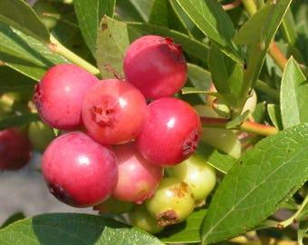 "Blueberry ""Pink Lemonade"", LIVE Plant, High Bush, Vaccinium"