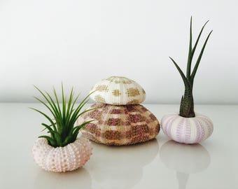 Sea Urchin 4 pcs - air plant - shell - shell - giant sea urchin - Urchin pink