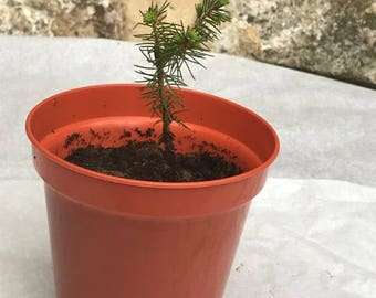 Douglas fir sapling (Pseudotsuga menziesii) - small conifer (tiny tree)