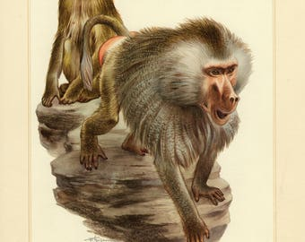 Vintage lithograph of the hamadryas baboon from 1956