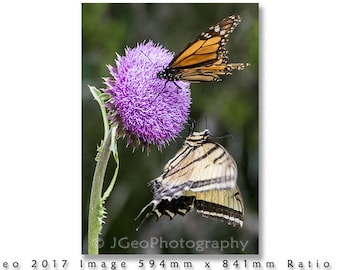 32 TWO BUTTERFLIES on a Thistle at Lost Maples State Park near Leakey, Texas