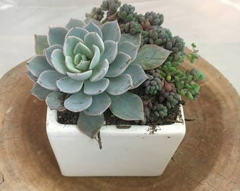 Simple White Succulent