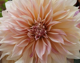 11X14 Dahlia flower on canvas - available in digital form