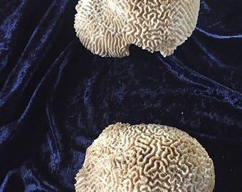 vintage dried natural coral