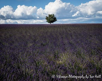 Single Tree on the Horizon of a Lavender Field in Provence, France