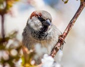 House Sparrow in Blossom ...