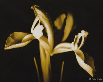 Gold Japanese Iris Black and White Photograph