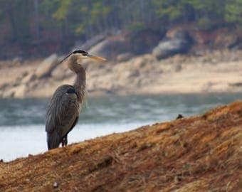 "Great Blue Heron at Shore ""An Elegant Predator"""
