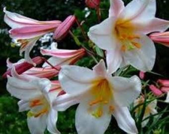 Lilium regale 'Album' (Trumpet Lily) 20 seeds