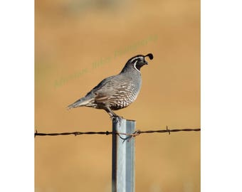 Nature photo print. Gambel's quail on barbed wired post. Vertical print