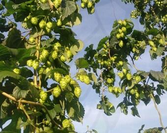 Centennial Hops (200g) - Whole Leaf - 2017 Harvest
