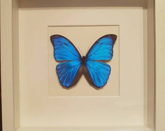 Blue Morpho butterfly in frame