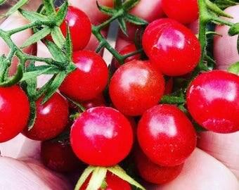 Everglades Tomato Seeds- Fresh