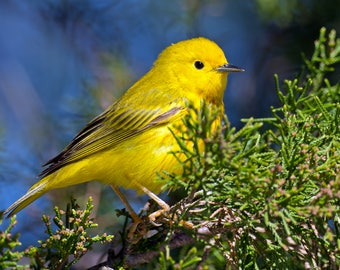 Yellow Warbler Photo Print, Large Art Print Nature Photography, Affordable Wall Art