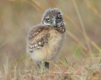 Framed Burrowing Owl chick