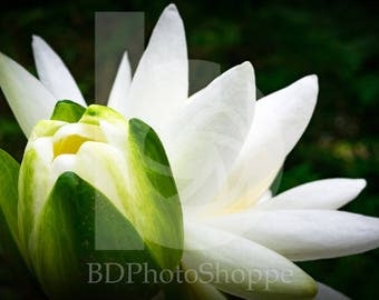 Water Lilies | Nature Photo Art | Nature Lover Gift | Fine Art Photography | Personalization | BDPhotoShoppe | Home Office Decor