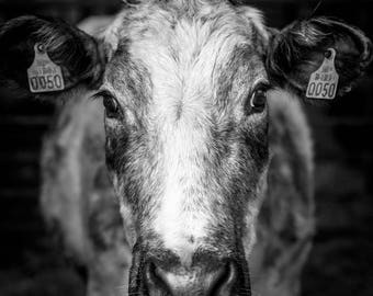 Large 1m square high detail, limited edition print of cow from Irish Photographer