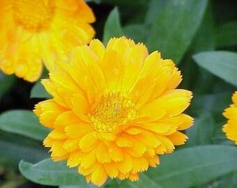 Calendula Pot Marigold- Yellow- 50 Seeds