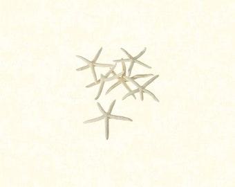 "12 Pcs / Hand Picked - 2""-3"" White Finger Starfish"